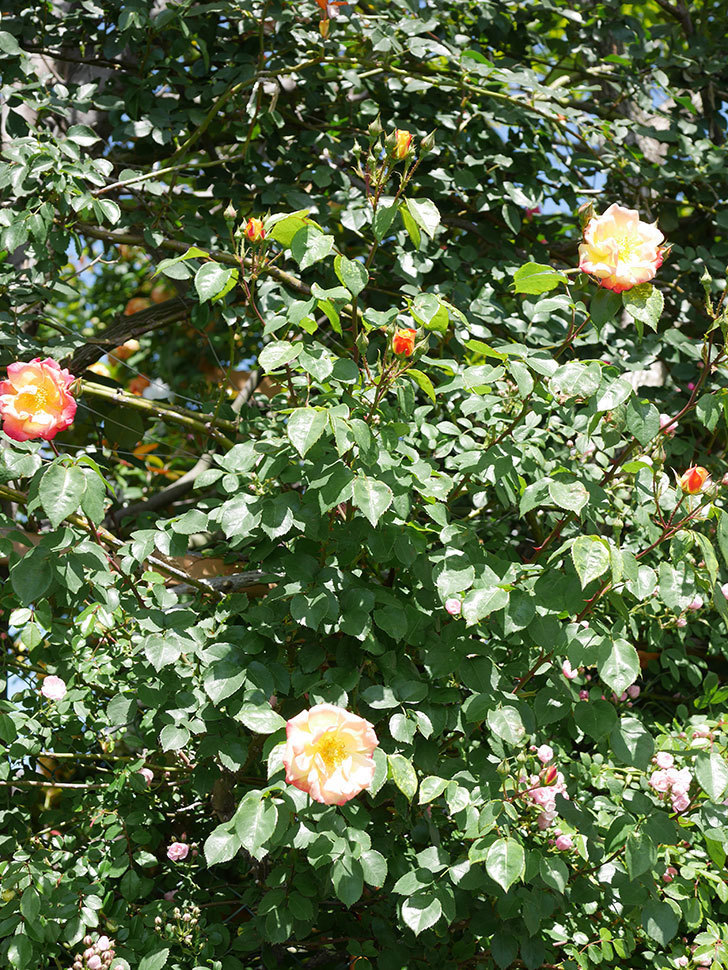 スヴニール・ドゥ・アンネ・フランク(Souvenir d'Anne Frank)の花が咲いた。木立バラ。2021年-028.jpg