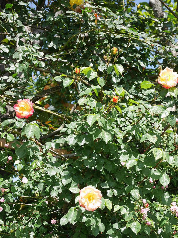 スヴニール・ドゥ・アンネ・フランク(Souvenir d'Anne Frank)の花が咲いた。木立バラ。2021年-029.jpg