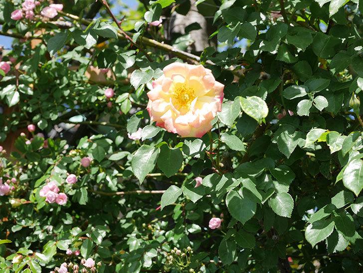 スヴニール・ドゥ・アンネ・フランク(Souvenir d'Anne Frank)の花が咲いた。木立バラ。2021年-030.jpg