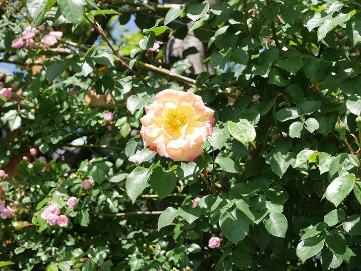 スヴニール・ドゥ・アンネ・フランク(Souvenir d'Anne Frank)の花が咲いた。木立バラ。2021年-031.jpg