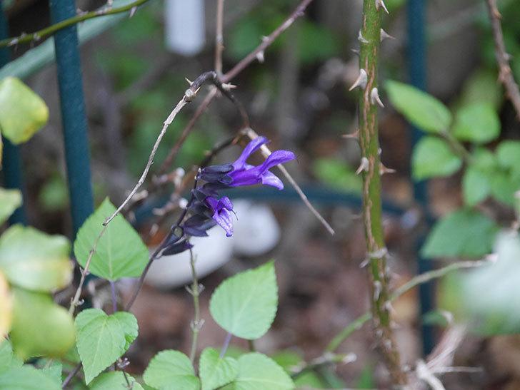 スーパーサルビア ロックンロール ディープパープルの花が咲いた。2020年-004.jpg