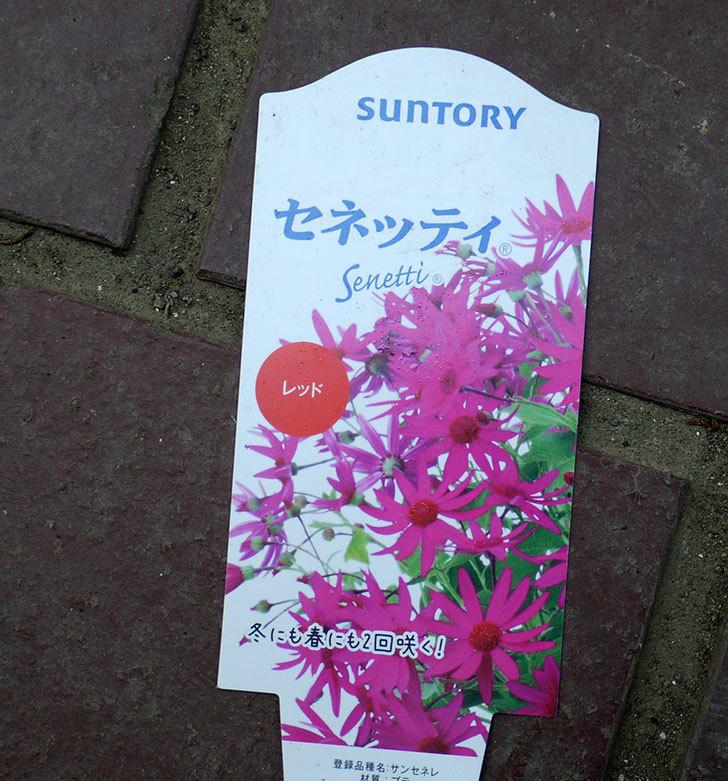 セネッティ(サイネリア)がホームズで200円だったので2個買ってきた。2016年-4.jpg