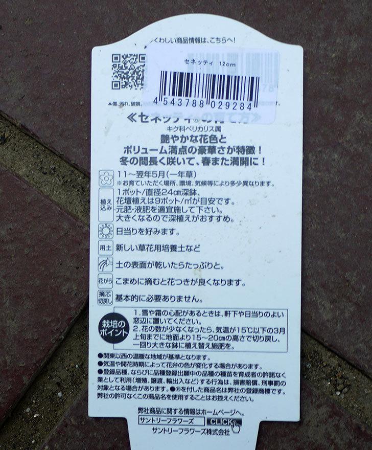 セネッティ(サイネリア)がホームズで200円だったので2個買ってきた。2016年-5.jpg