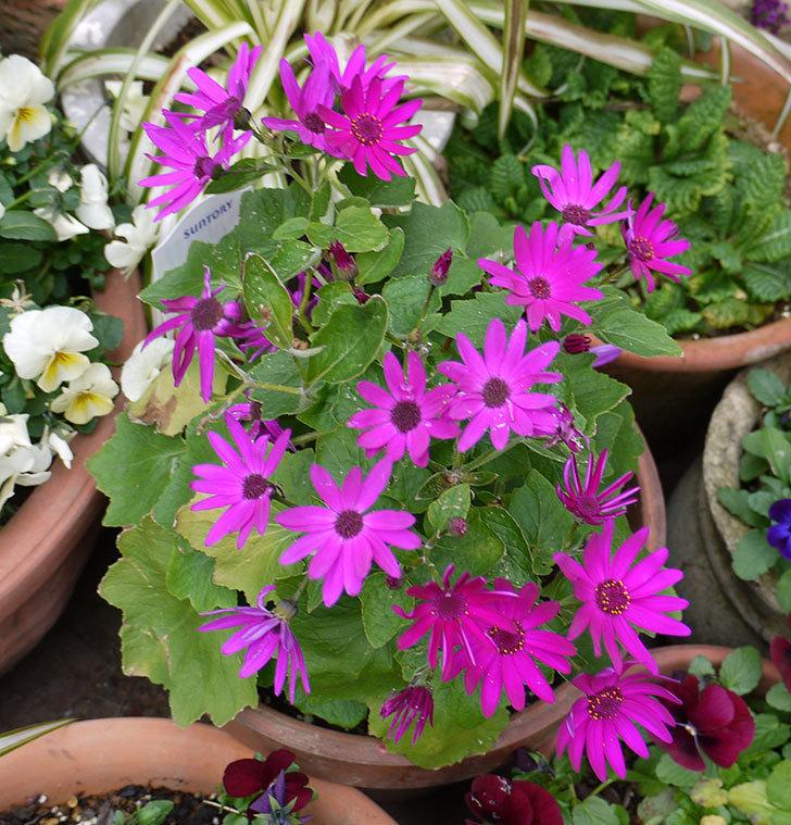 セネッティ(サイネリア)レッドの花が増えてきた。2017年-3.jpg