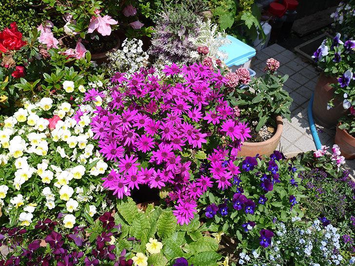 セネッティ(サイネリア)レッドの花が満開になった。2017年-3.jpg