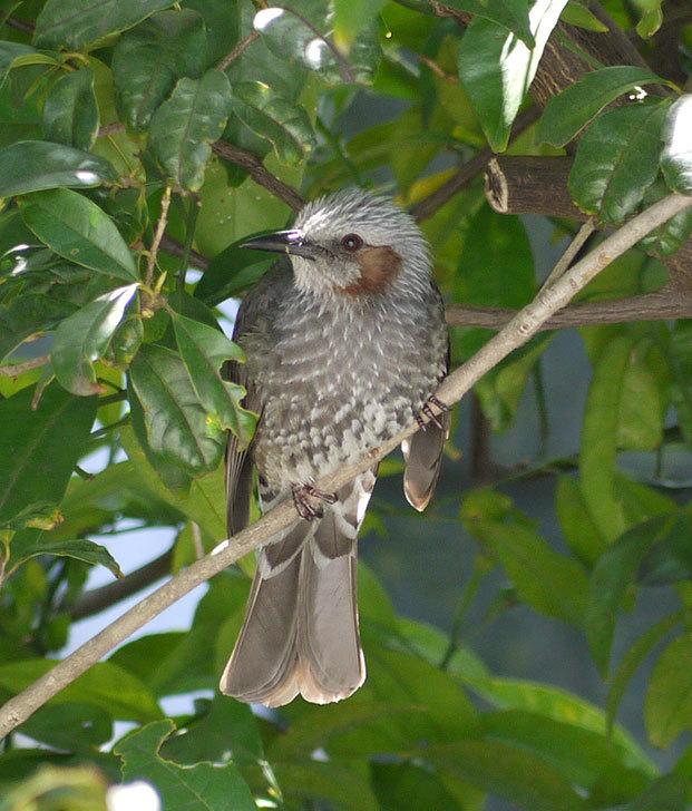 セリアで買ったAntiqui-Birdhouse-アンティークバードハウスにヒヨドリが来た10.jpg