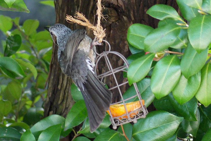 セリアで買ったAntiqui-Birdhouse-アンティークバードハウスにヒヨドリが来た2.jpg