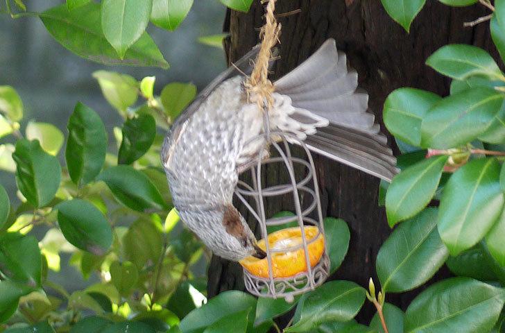 セリアで買ったAntiqui-Birdhouse-アンティークバードハウスにヒヨドリが来た5.jpg