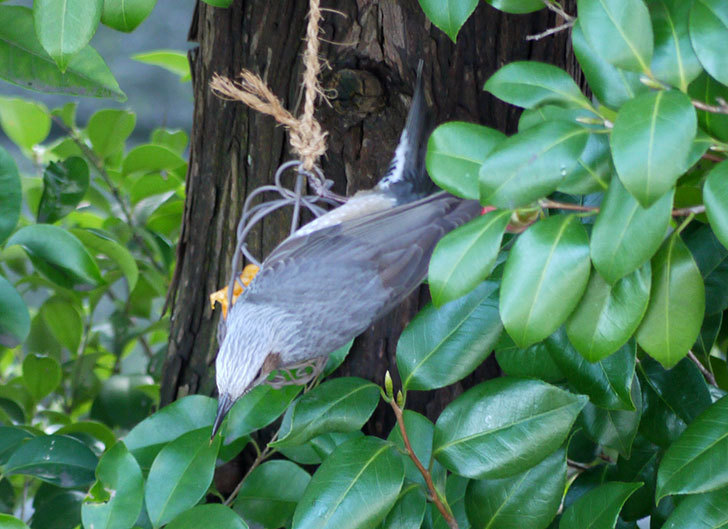 セリアで買ったAntiqui-Birdhouse-アンティークバードハウスにヒヨドリが来た6.jpg