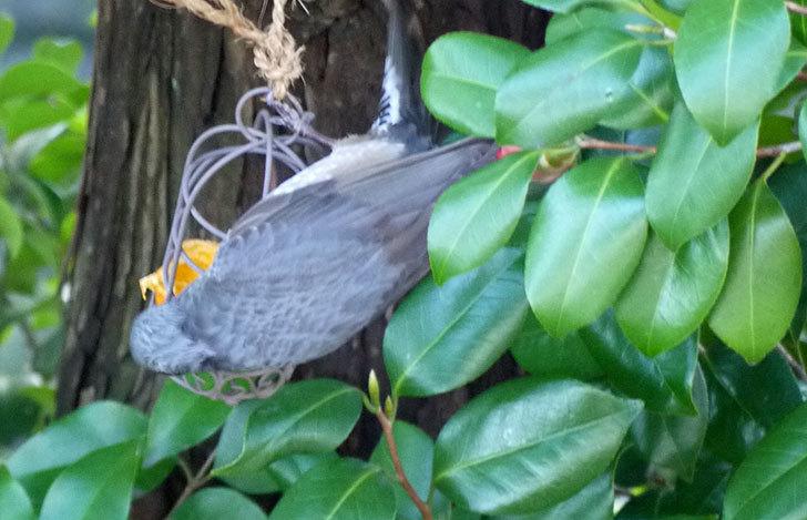 セリアで買ったAntiqui-Birdhouse-アンティークバードハウスにヒヨドリが来た7.jpg