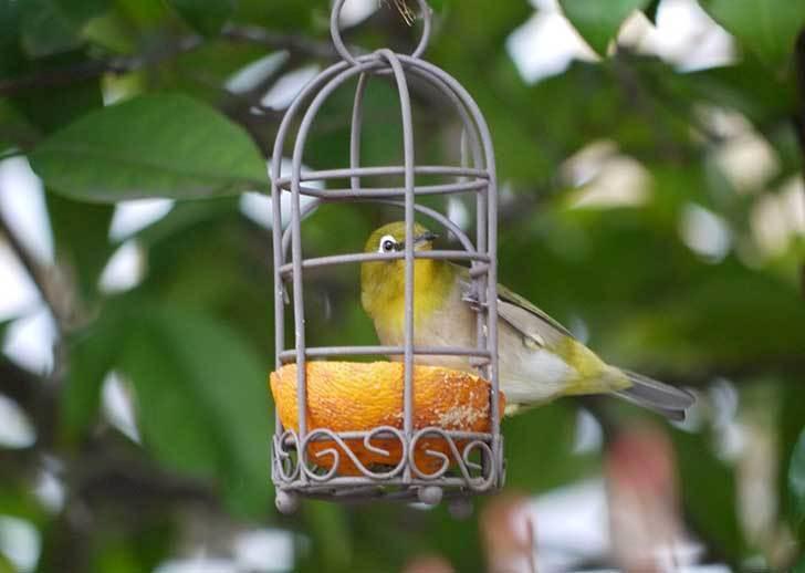 セリアで買ったAntiqui-Birdhouse-アンティークバードハウスにメジロが来た2.jpg