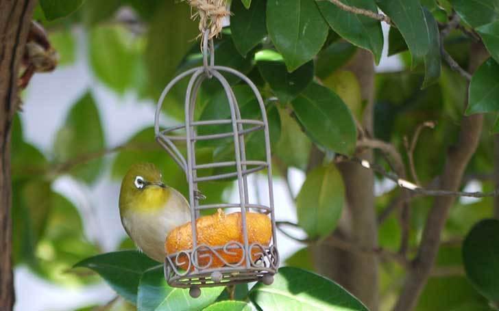 セリアで買ったAntiqui-Birdhouse-アンティークバードハウスにメジロが来た3.jpg