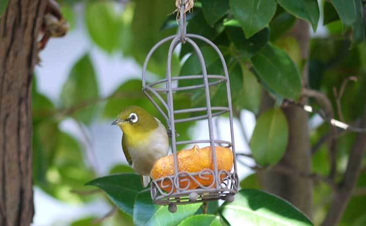 セリアで買ったAntiqui-Birdhouse-アンティークバードハウスにメジロが来た4.jpg