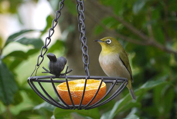 セリアで買ったIRON-HANGING-BASKET-アイアン吊りかご-小鳥にメジロが来た1.jpg