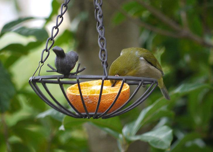 セリアで買ったIRON-HANGING-BASKET-アイアン吊りかご-小鳥にメジロが来た2.jpg