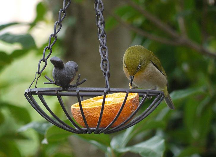 セリアで買ったIRON-HANGING-BASKET-アイアン吊りかご-小鳥にメジロが来た3.jpg