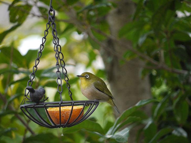セリアで買ったIRON-HANGING-BASKET-アイアン吊りかご-小鳥にメジロが来た5.jpg