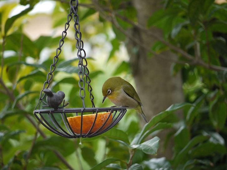 セリアで買ったIRON-HANGING-BASKET-アイアン吊りかご-小鳥にメジロが来た6.jpg