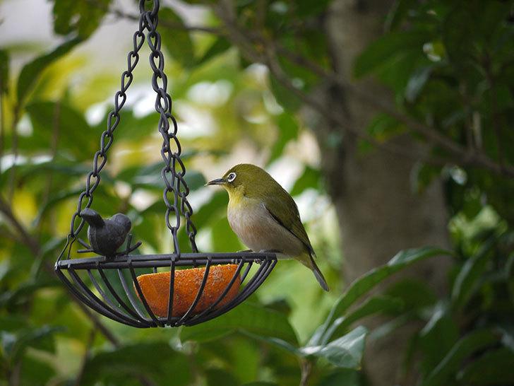 セリアで買ったIRON-HANGING-BASKET-アイアン吊りかご-小鳥にメジロが来た7.jpg