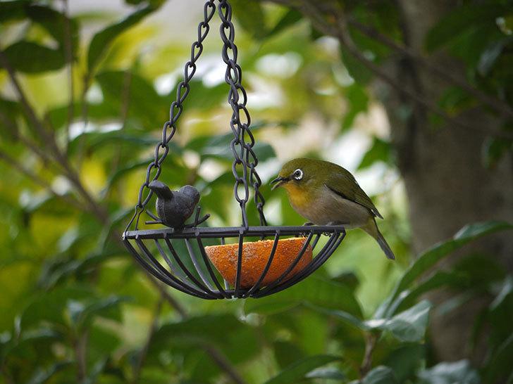 セリアで買ったIRON-HANGING-BASKET-アイアン吊りかご-小鳥にメジロが来た8.jpg