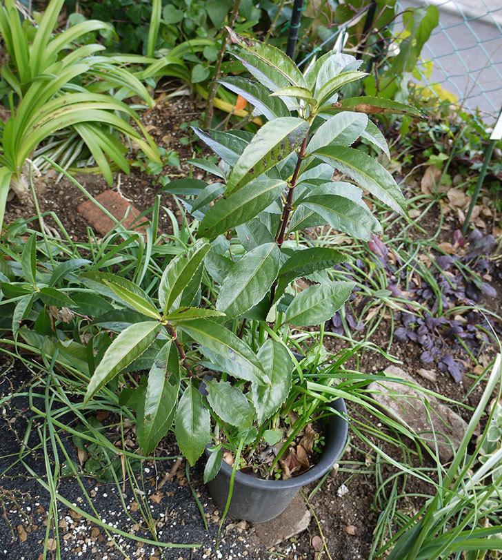 センリョウの鉢を地植えした。2017年-2.jpg