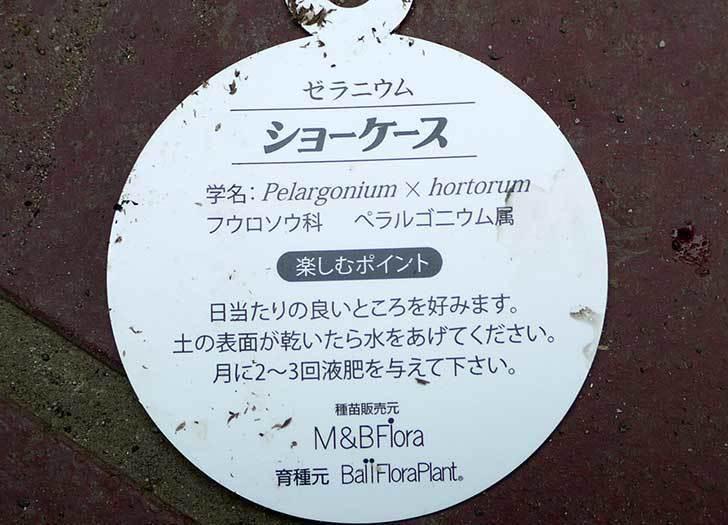 ゼラニウム-ショーケース-ローズシズルがホームズで150円だったので買って来た4.jpg