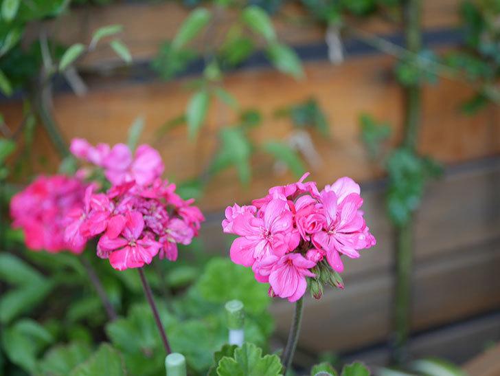 ゼラニウムの花が咲いた。2021年-001.jpg