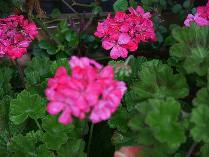 ゼラニウムの花が咲いた。2021年-006.jpg
