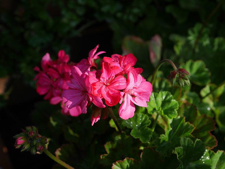 ゼラニウムの花が咲いた。2021年-013.jpg