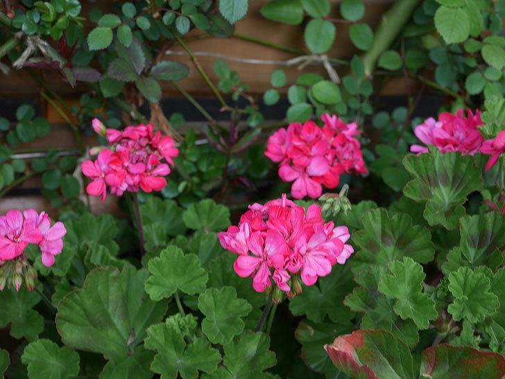 ゼラニウムの花が咲いた。2021年-018.jpg