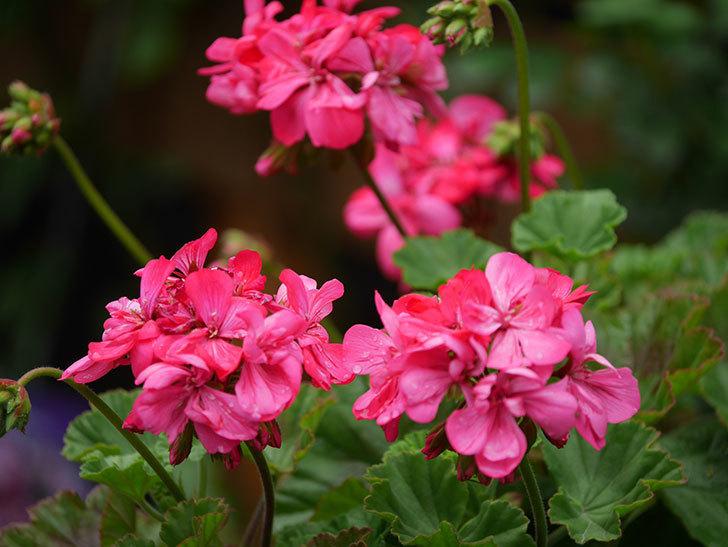 ゼラニウムの花が咲いた。2021年-035.jpg