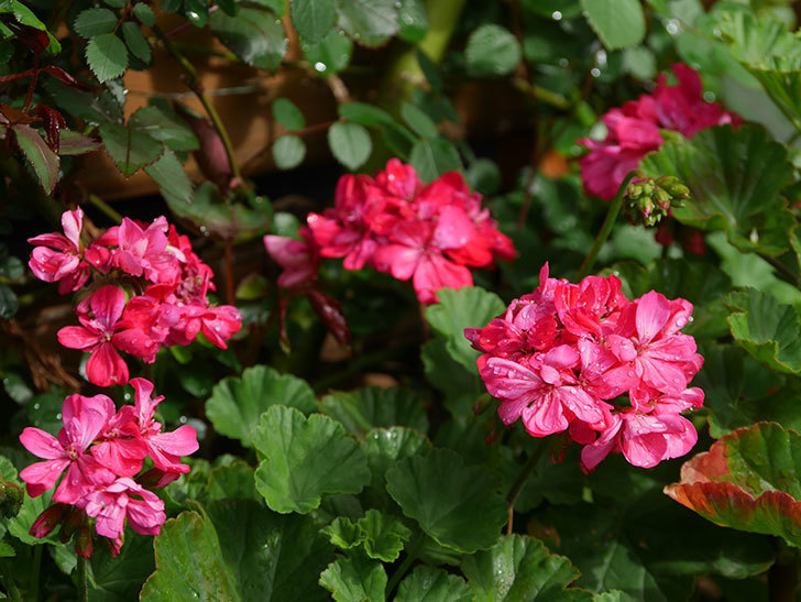 ゼラニウムの花が咲いた。2021年-036.jpg