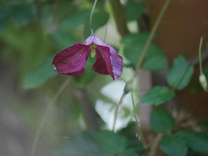 ソダーテイヤ(ビチセラ系 新枝咲き)の花がたくさん咲いた。2019年-9.jpg