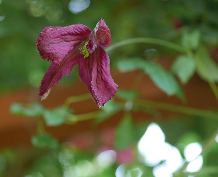 ソダーテイヤ(ビチセラ系 新枝咲き)の花が咲いた。2019年-1.jpg