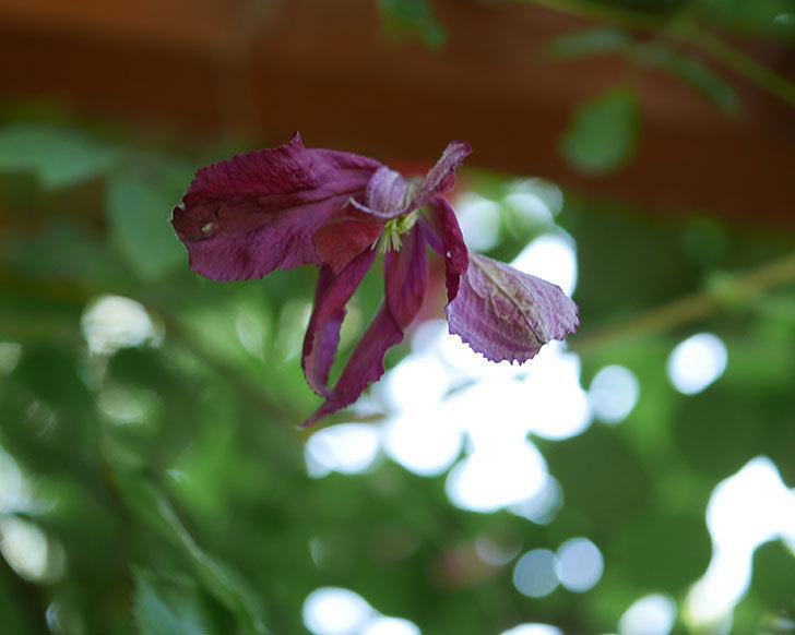 ソダーテイヤ(ビチセラ系 新枝咲き)の花が咲いた。2019年-4.jpg