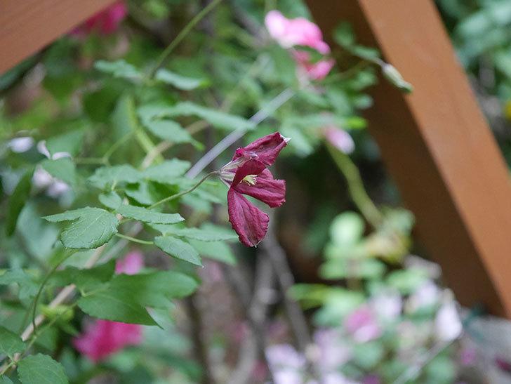 ソダーテイヤ(ビチセラ系 新枝咲き)の花が咲いた。2020年-003.jpg