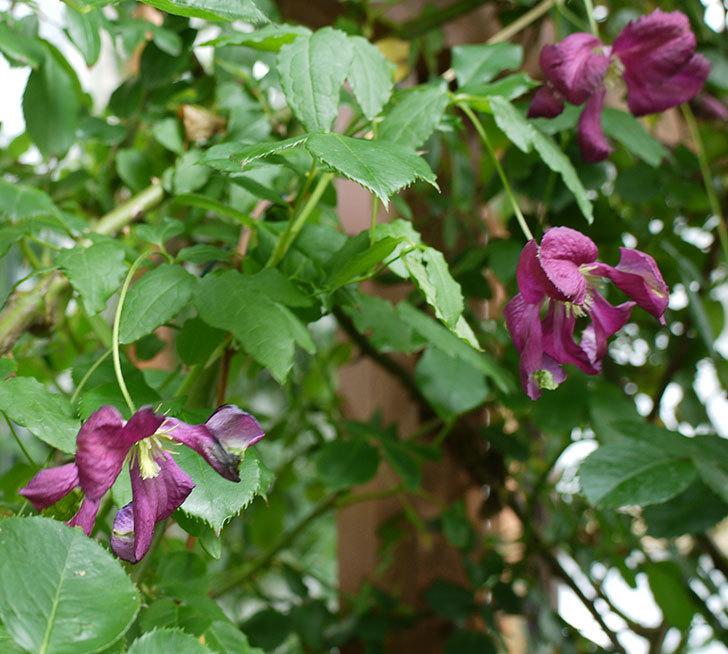 ソダーテイヤ(ビチセラ系 新枝咲き)の花が増えてきた。2017年-1.jpg