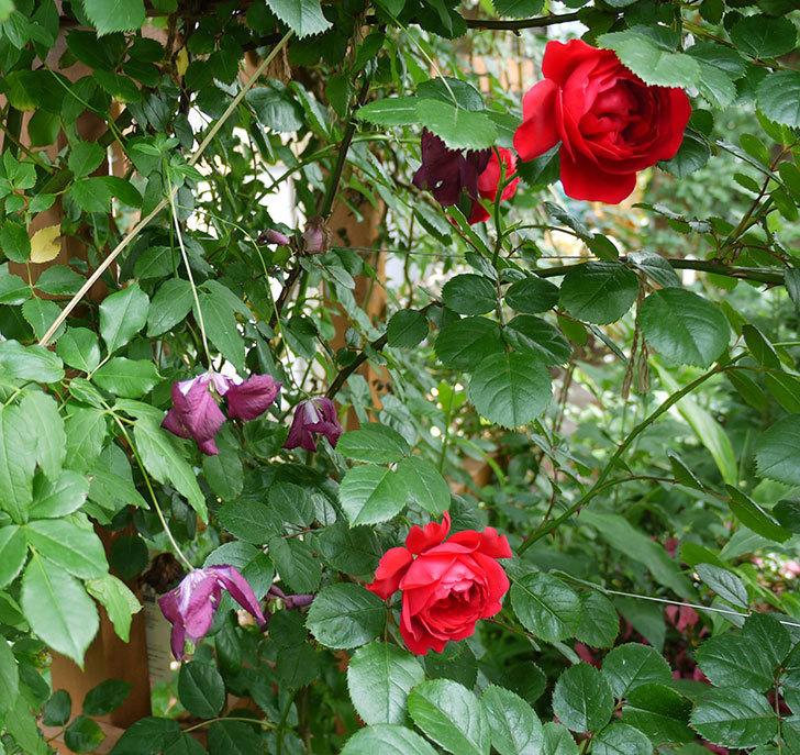 ソダーテイヤ(ビチセラ系 新枝咲き)の花が増えてきた。2017年-4.jpg
