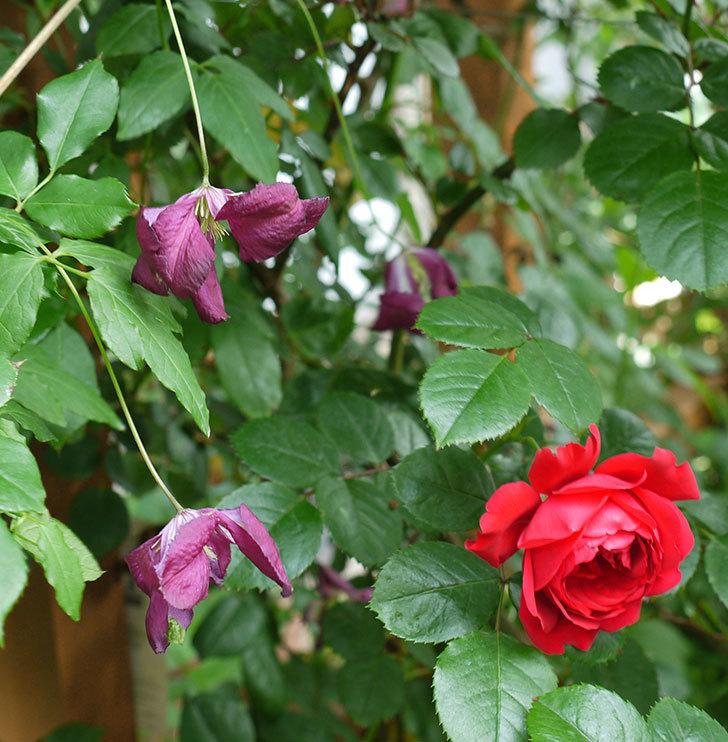 ソダーテイヤ(ビチセラ系 新枝咲き)の花が増えてきた。2017年-5.jpg