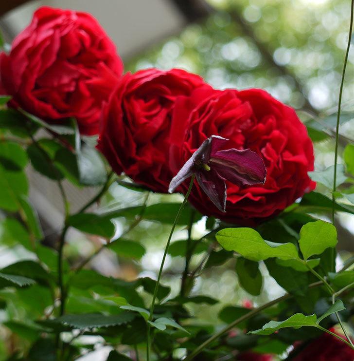 ソダーテイヤ(ビチセラ系 新枝咲き)の花が増えてきた。2017年-9.jpg