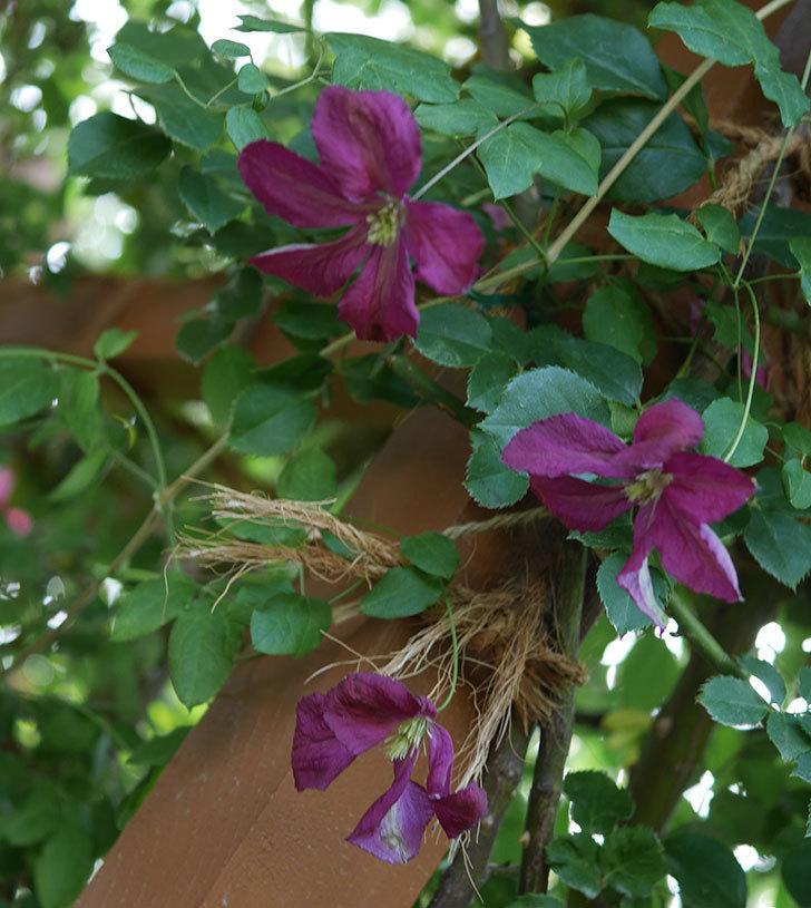 ソダーテイヤ(ビチセラ系 新枝咲き)の花が増えて来た。2019年-1.jpg