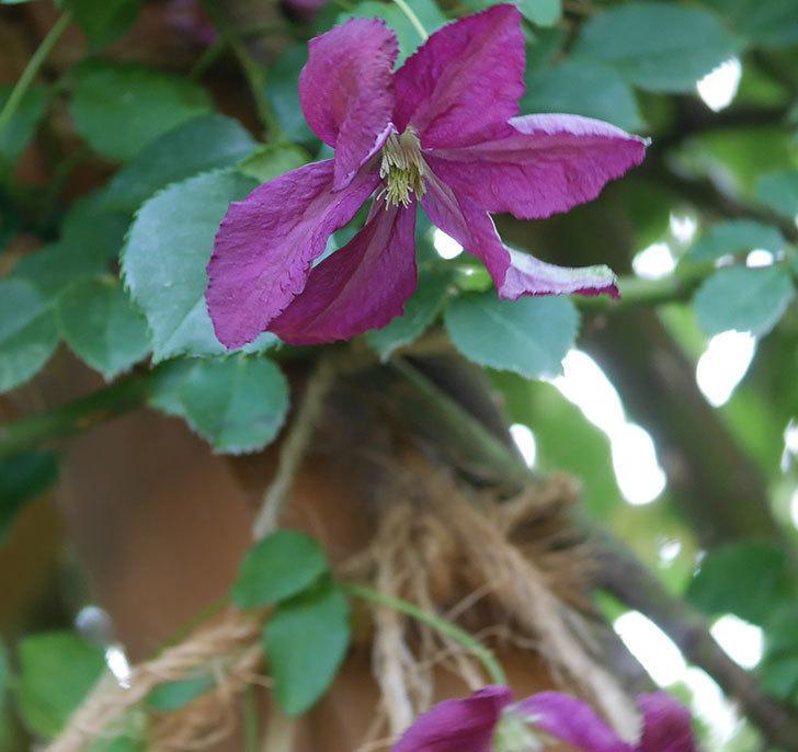 ソダーテイヤ(ビチセラ系 新枝咲き)の花が増えて来た。2019年-2.jpg