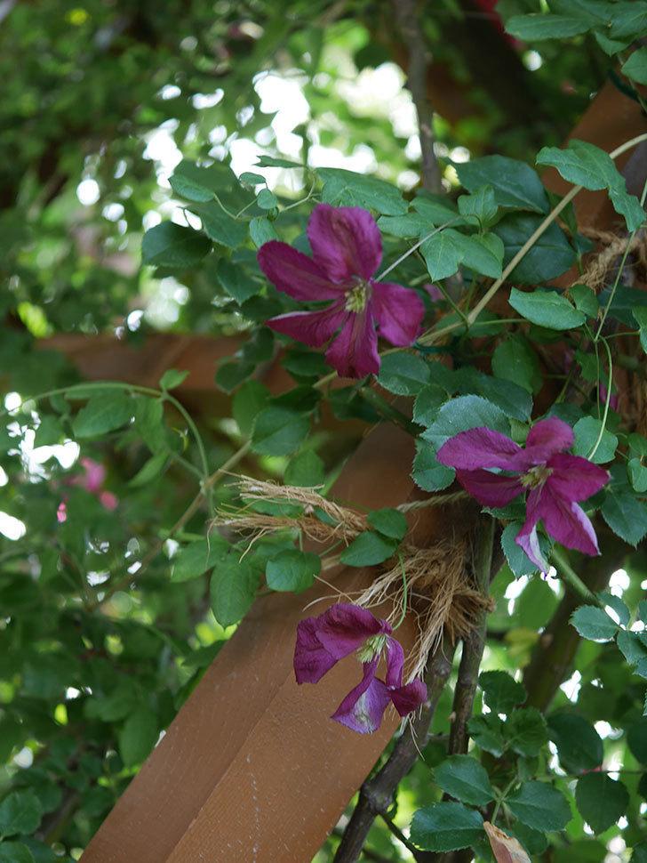 ソダーテイヤ(ビチセラ系 新枝咲き)の花が増えて来た。2019年-3.jpg