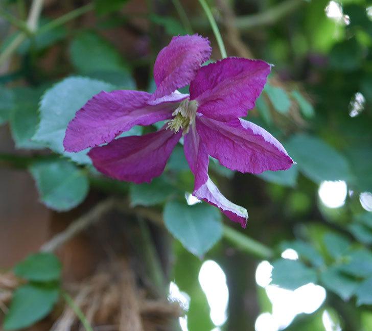 ソダーテイヤ(ビチセラ系 新枝咲き)の花が増えて来た。2019年-4.jpg