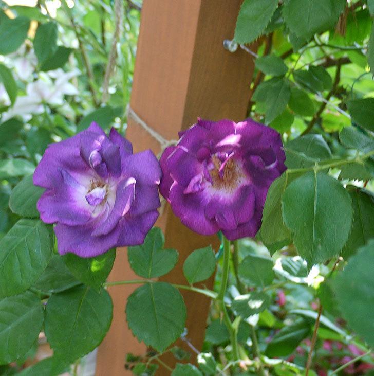 ソニャドール(ツルバラ)が綺麗に咲いた。2017年-5.jpg