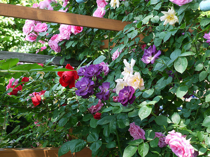 ソニャドール(ツルバラ)が綺麗に咲いた。2017年-7.jpg