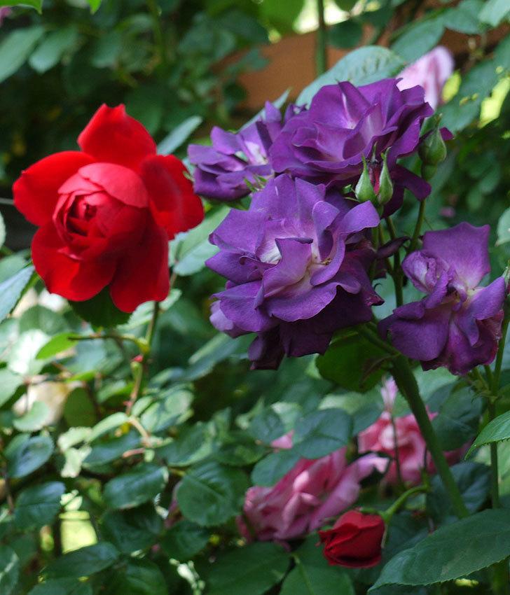 ソニャドール(ツルバラ)が綺麗に咲いた。2017年-9.jpg