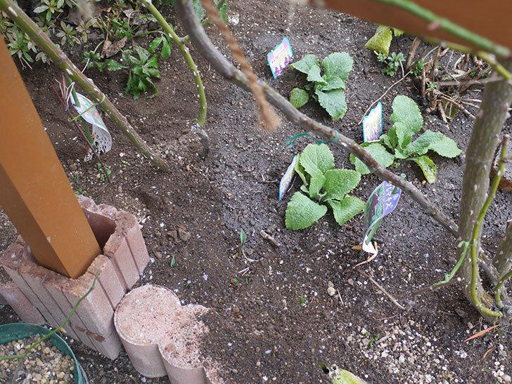ソニャドール(ツルバラ)に寒肥を施した。2019年-5.jpg