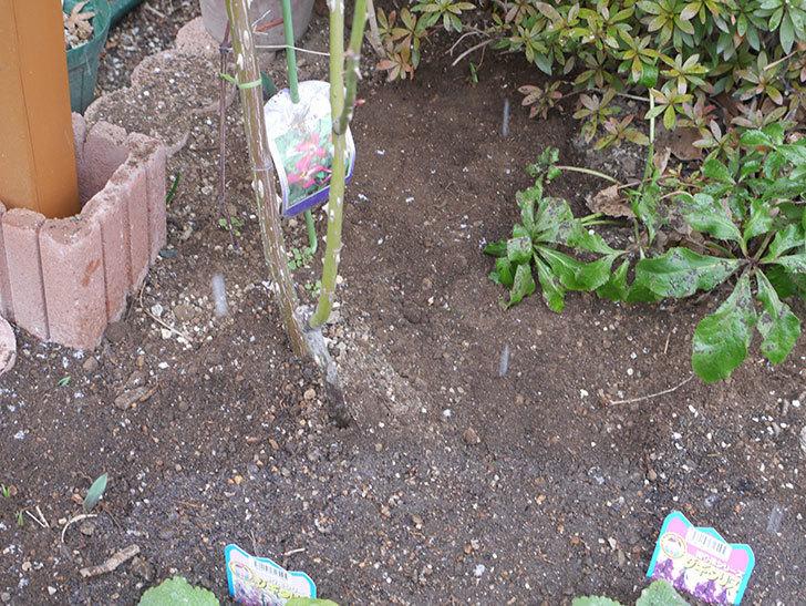 ソニャドール(ツルバラ)に寒肥を施した。2019年-6.jpg