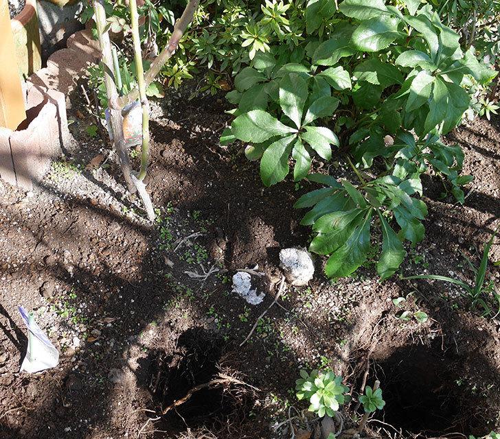 ソニャドール(ツルバラ)に寒肥を施した。2020年-1.jpg
